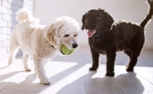 Two dogs playing with ball