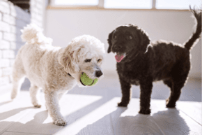 Two puppies playing with a tennis ball